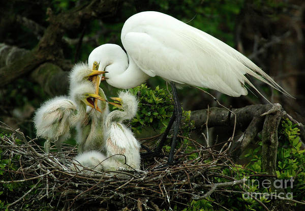 Wall Art - Photograph - Majestic Great White Egret High Island Texas 9 by Bob Christopher