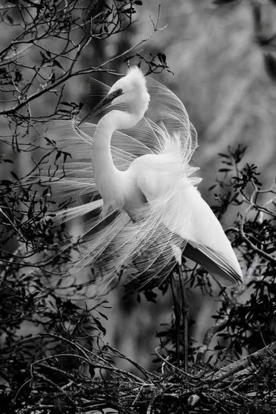 Photograph - Great White Egret In Black And White by Carol Montoya