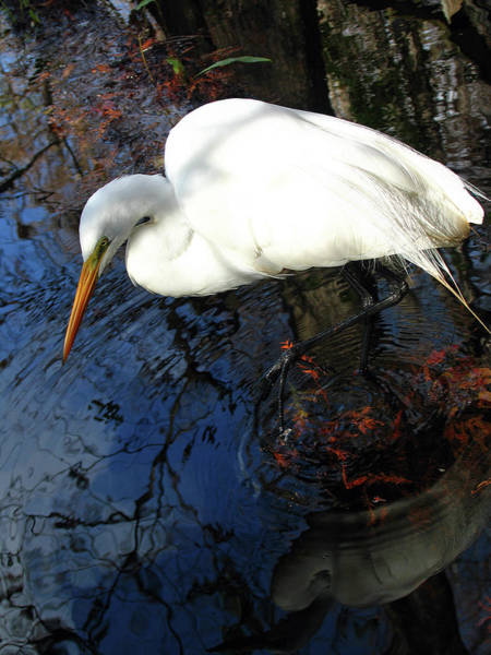 Photograph - Great White Egret by Juergen Roth