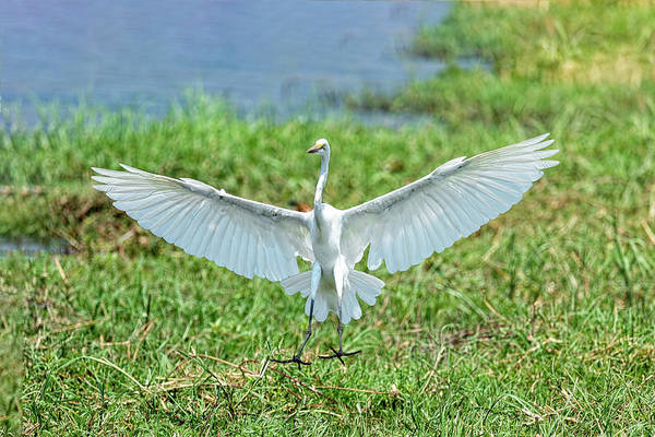 Photograph - Great White Egret by Kay Brewer