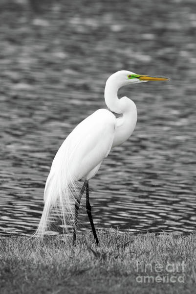 Egret Photograph - Great White Egret by Paul Quinn