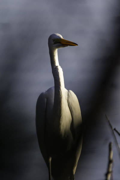 Photograph - Great White Egret by Pete Federico