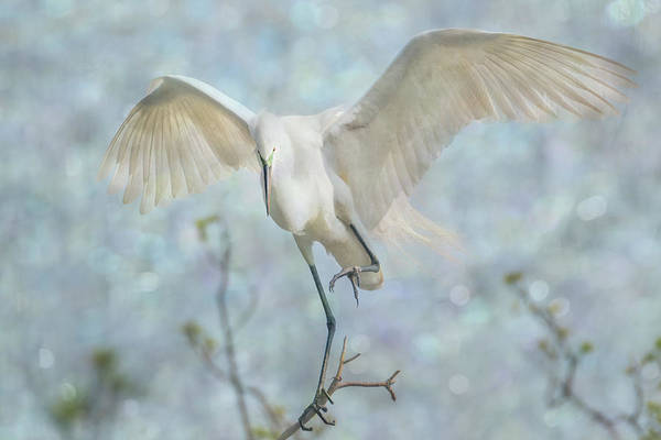 Photograph - Great White Egret - Sky Dancer #2 by Patti Deters