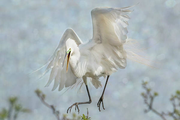 Photograph - Great White Egret - Sky Dancer #4 by Patti Deters