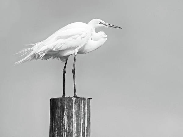 Wall Art - Photograph - Great White Egret by Stephanie McDowell