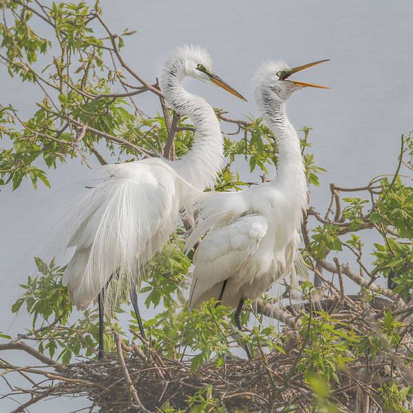 Photograph - Great White Egret Square #1 by Patti Deters