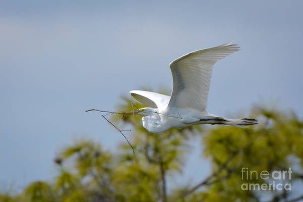 Wall Art - Photograph - Great White Glider by Quinn Sedam