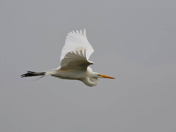 Photograph - Great White Heron In Flight by Charles McKelroy