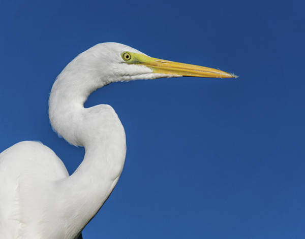 Photograph - Great White Heron by Louise Lindsay