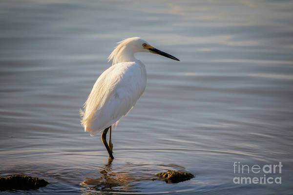 Photograph - Great White Heron by Richard Smith