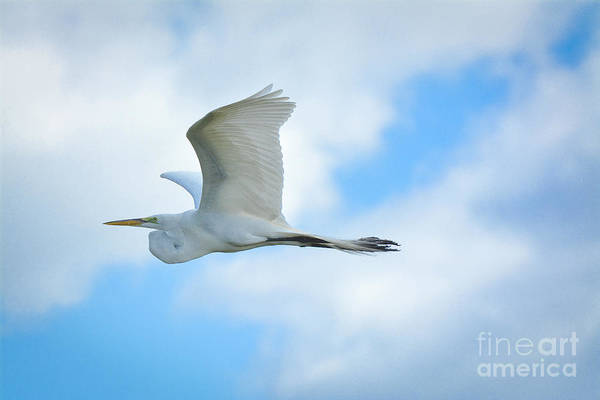 Great White In Flight Art Print