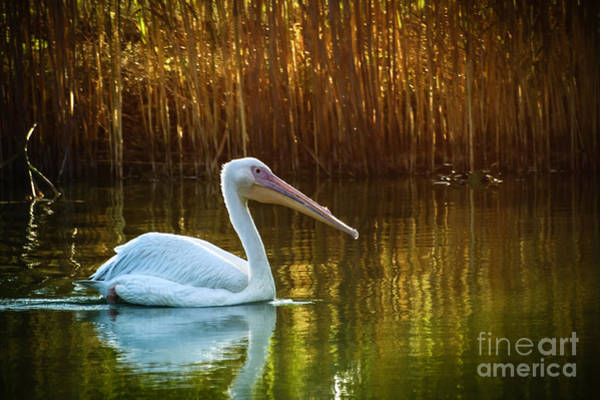 Photograph - Great White Pelican Swimming On Lake by Dimitar Hristov