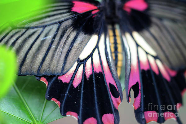 Photograph - Great Yellow Mormon Butterfly Bright  by Karen Adams