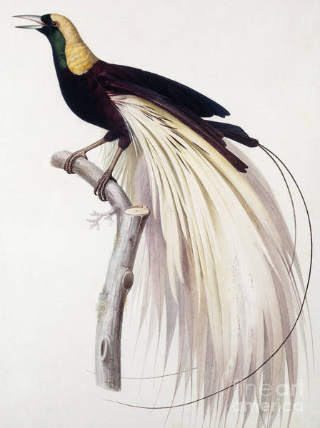 Bird Of Paradise Painting - Greater Bird Of Paradise by Jacques Barraband