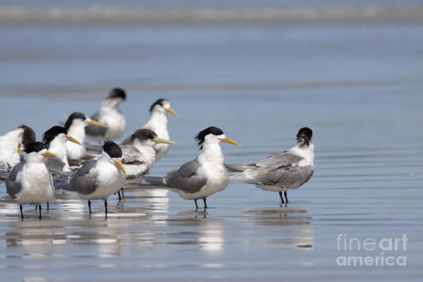 Photograph - Greater Crested Terns by Karen Van Der Zijden