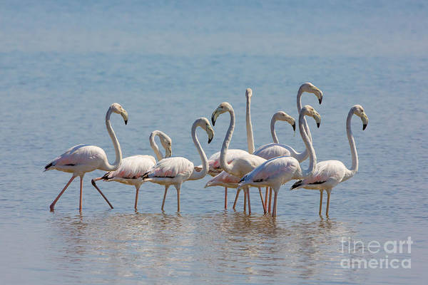 Phoenicopterus Roseus Wall Art - Photograph - Greater Flamingos, India by B. G. Thomson