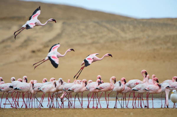 Water Birds Photograph - Greater Flamingos Phoenicopterus by Panoramic Images