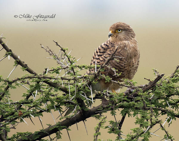 Photograph - Greater Kestrel by Mike Fitzgerald