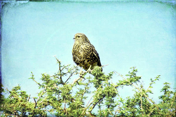 Photograph - Greater Kestrel Van Gogh by Kay Brewer