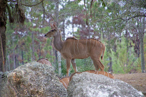 Photograph - Greater Kudu Female - Rdw002756 by Dean Wittle
