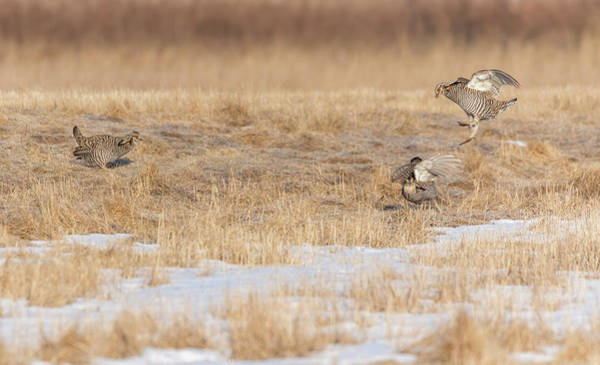 Photograph - Greater Prairie Chickens 2018-6 by Thomas Young