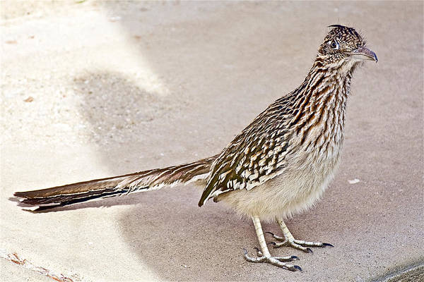 Wall Art - Photograph - Greater Roadrunner In Desert Hot Springs-california by Ruth Hager