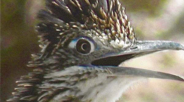Photograph - Greater Roadrunner Portrait by Judy Kennedy