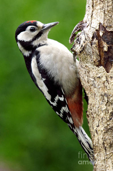 Photograph - Greater Spotted Woodpecker by Martyn Arnold
