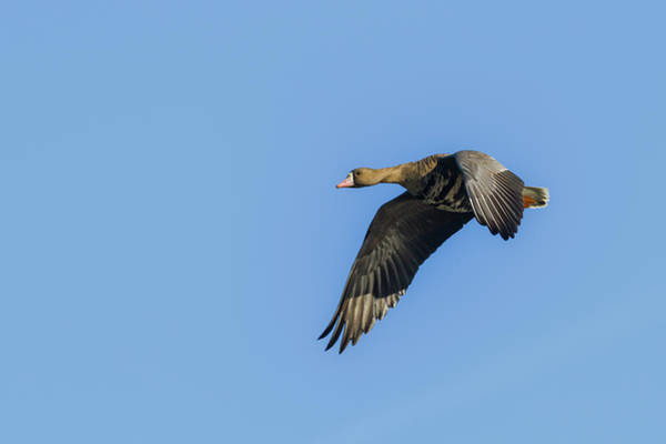 Photograph - Greater White Fronted Goose by Mark Miller