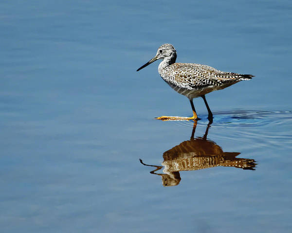 Photograph - Greater Yellowlegs by Dawn Currie