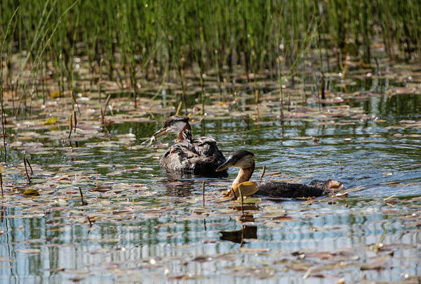 Photograph - Grebe's On The Water by Gloria Anderson