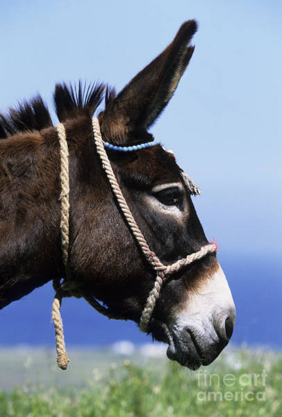 Equus Africanus Photograph - Greek Donkey by Jean-Louis Klein & Marie-Luce Hubert