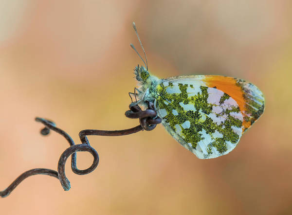 Wall Art - Photograph - Green And Orange Small Butterfly On Curly Branch by Jaroslaw Blaminsky
