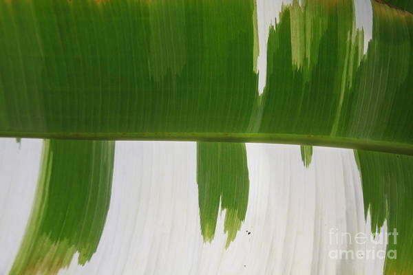 Pineapple Lily Photograph - Green And White Leaf by Jennifer Bright