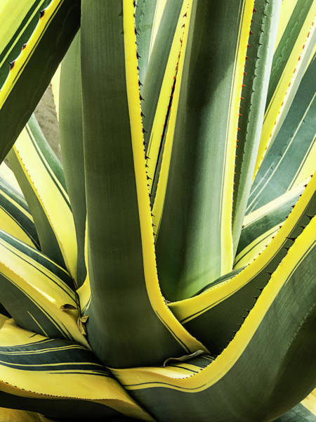 Photograph - Green And Yellow Agave Plant by Bob Slitzan