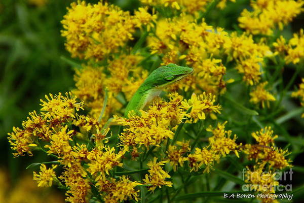 Photograph - Green Anole Hiding In Golden Rod by Barbara Bowen