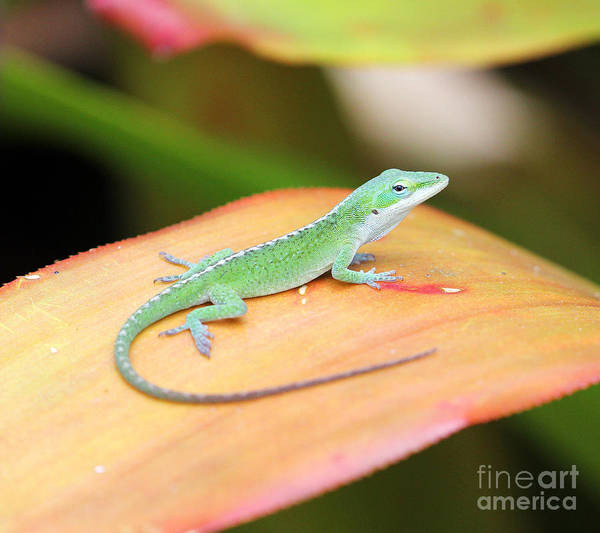 Photograph - Green Anole by Jennifer Robin