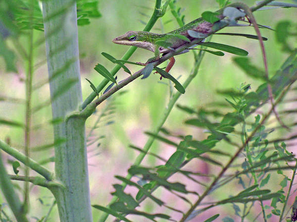Green Anole Photograph - Green Anole by Kenneth Albin