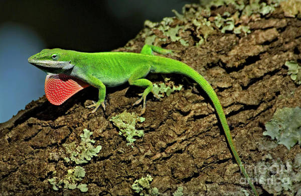 Photograph - Green Anole Lizard Anolis Carolensis Wild Texas by Dave Welling