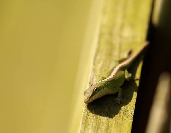 Green Anole Photograph - Green Anole Lizard by Judy Vincent