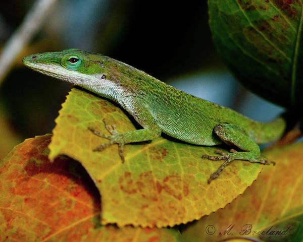Green Anole Photograph - Green Anoles 2 by Melissa Wyatt