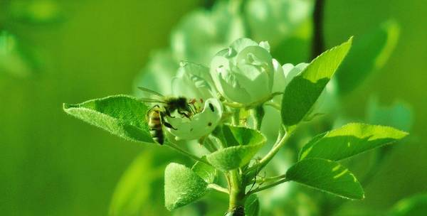 Photograph - Green Apple Bee by Barbara St Jean