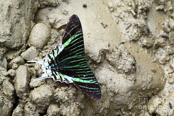 Photograph - Green-banded Urania Moth Urania Leilus by James Brunker