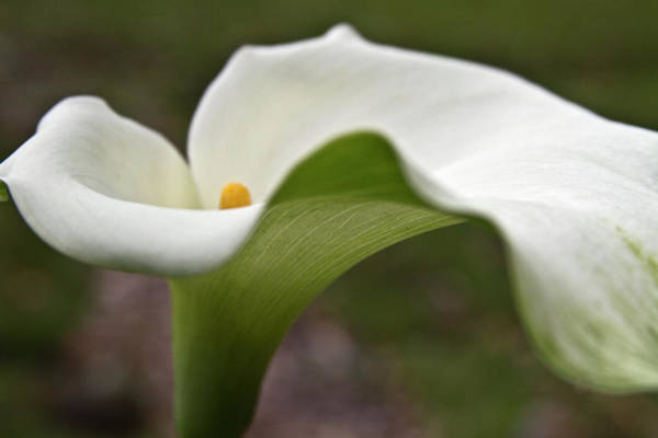 Photograph - Green Calla by Heiko Koehrer-Wagner