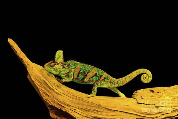 Photograph - Green Chameleon by Les Palenik