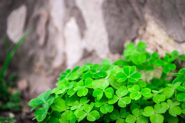 Photograph - Green Clover And Grey Tree by John Williams