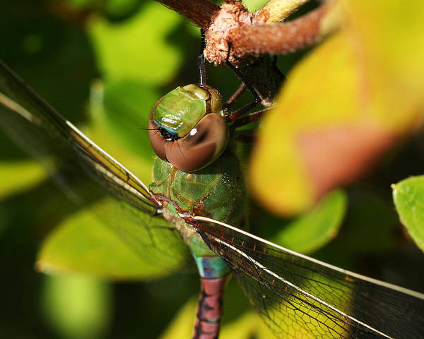 Photograph - Green Darner Close Up by William Selander