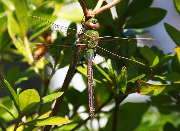 Photograph - Green Darner In Azalea Bush by William Selander