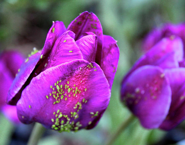 Photograph - Aphids On Purple Tulips by Melinda Blackman