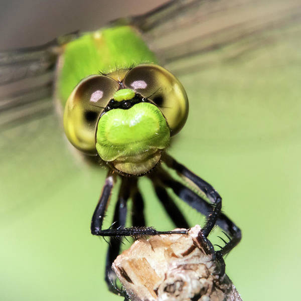 Compound Eyes Photograph - Green Dragonfly Face by Jim Hughes